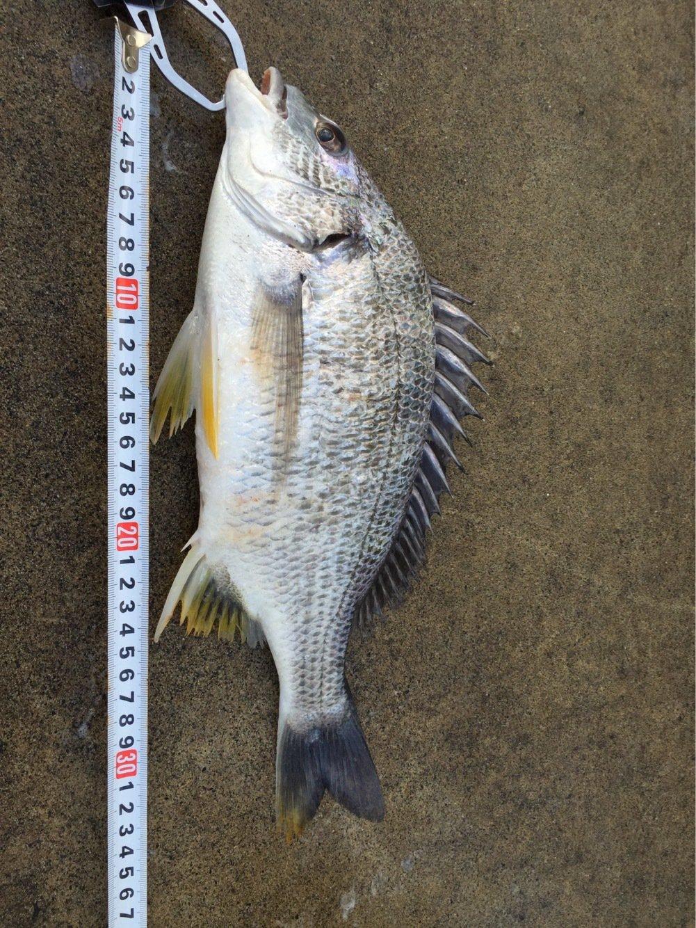 マルスさんの投稿画像,写っている魚はキチヌ