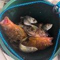 ジーさまさんの石川県白山市での釣果写真