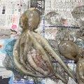 アポロンさんの兵庫県明石市でのマダコの釣果写真