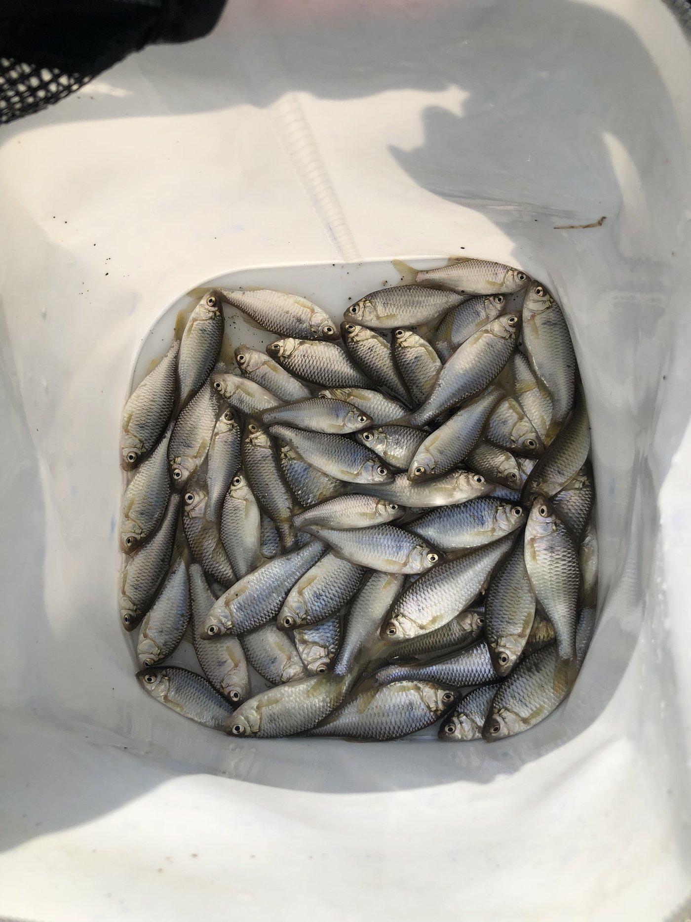 ゆうくんさんの投稿画像,写っている魚はヤリタナゴ