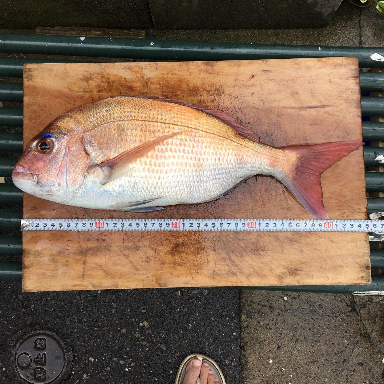 aoricyuさんの投稿画像,写っている魚はマダイ