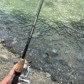 たくさんの神奈川県愛甲郡でのニジマスの釣果写真