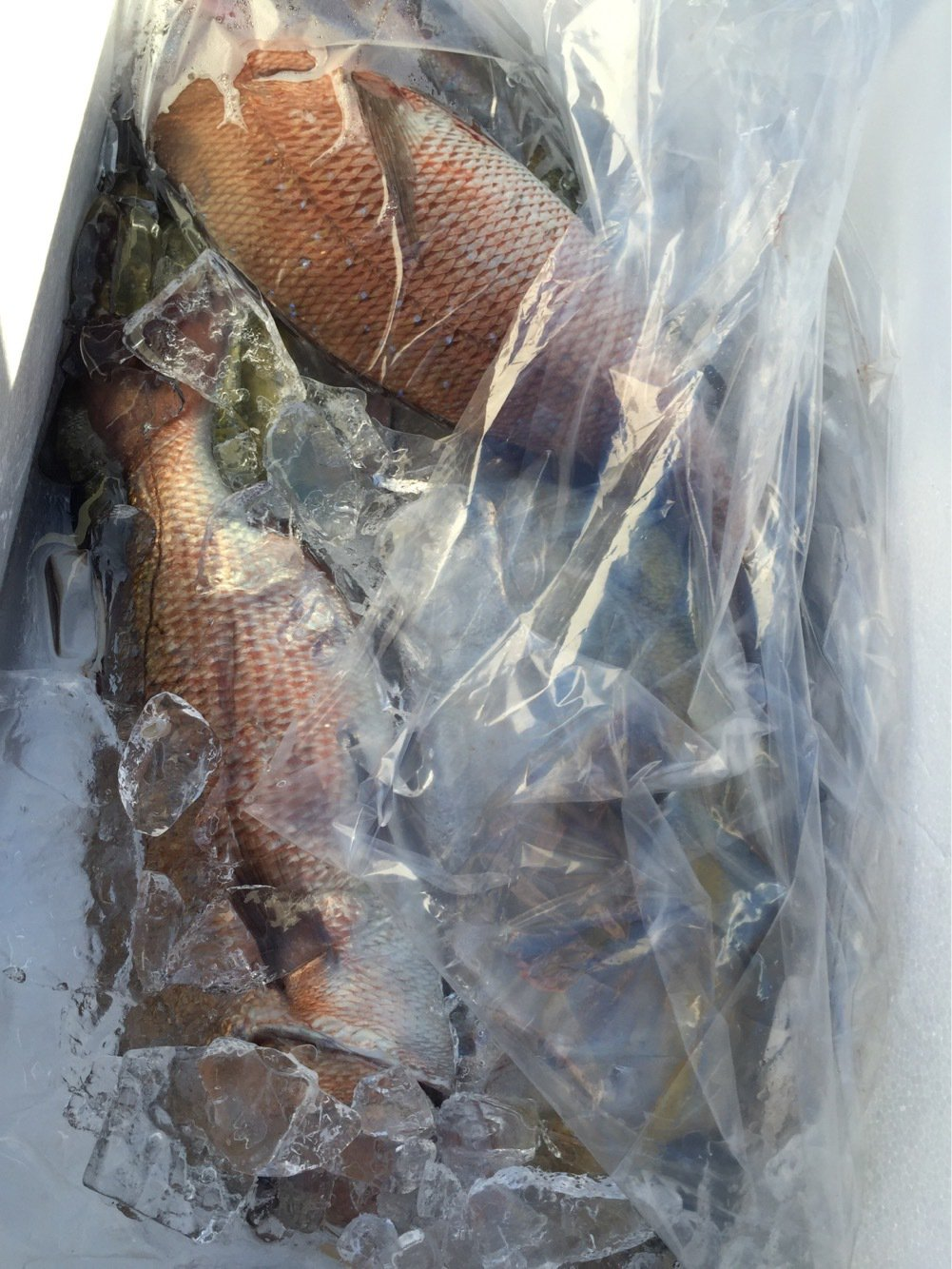 愛知のカズくんさんの投稿画像,写っている魚はブリ