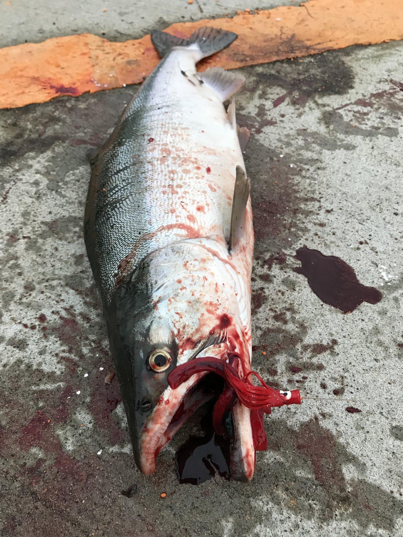 かずやさんの投稿画像,写っている魚はカラフトマス