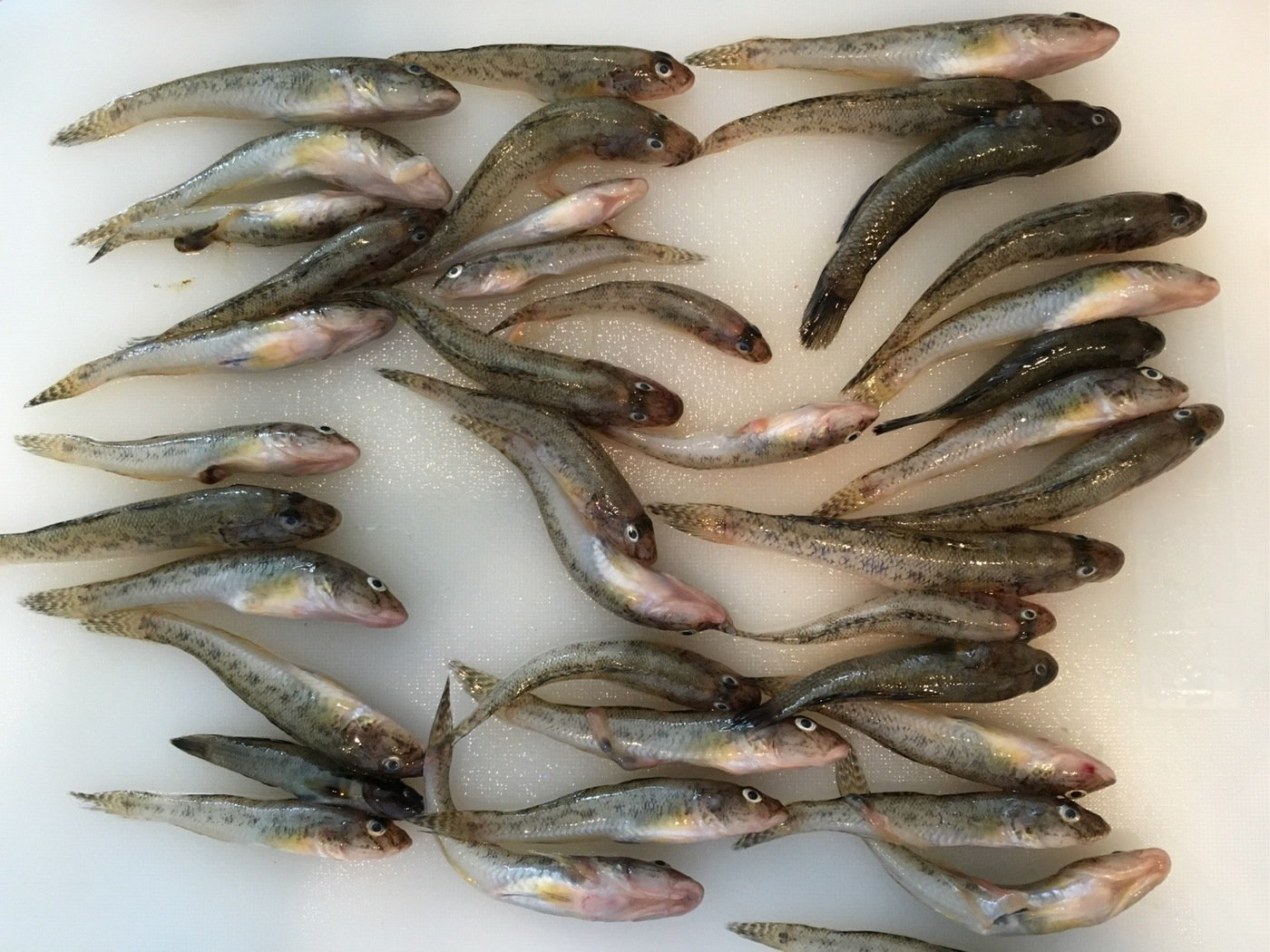 Shinさんの投稿画像,写っている魚はマハゼ