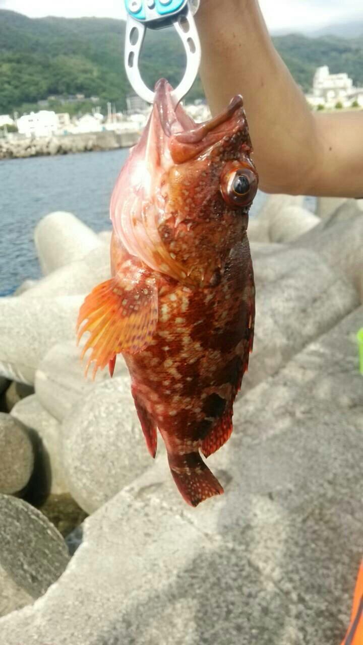 うすださんの投稿画像,写っている魚はカサゴ