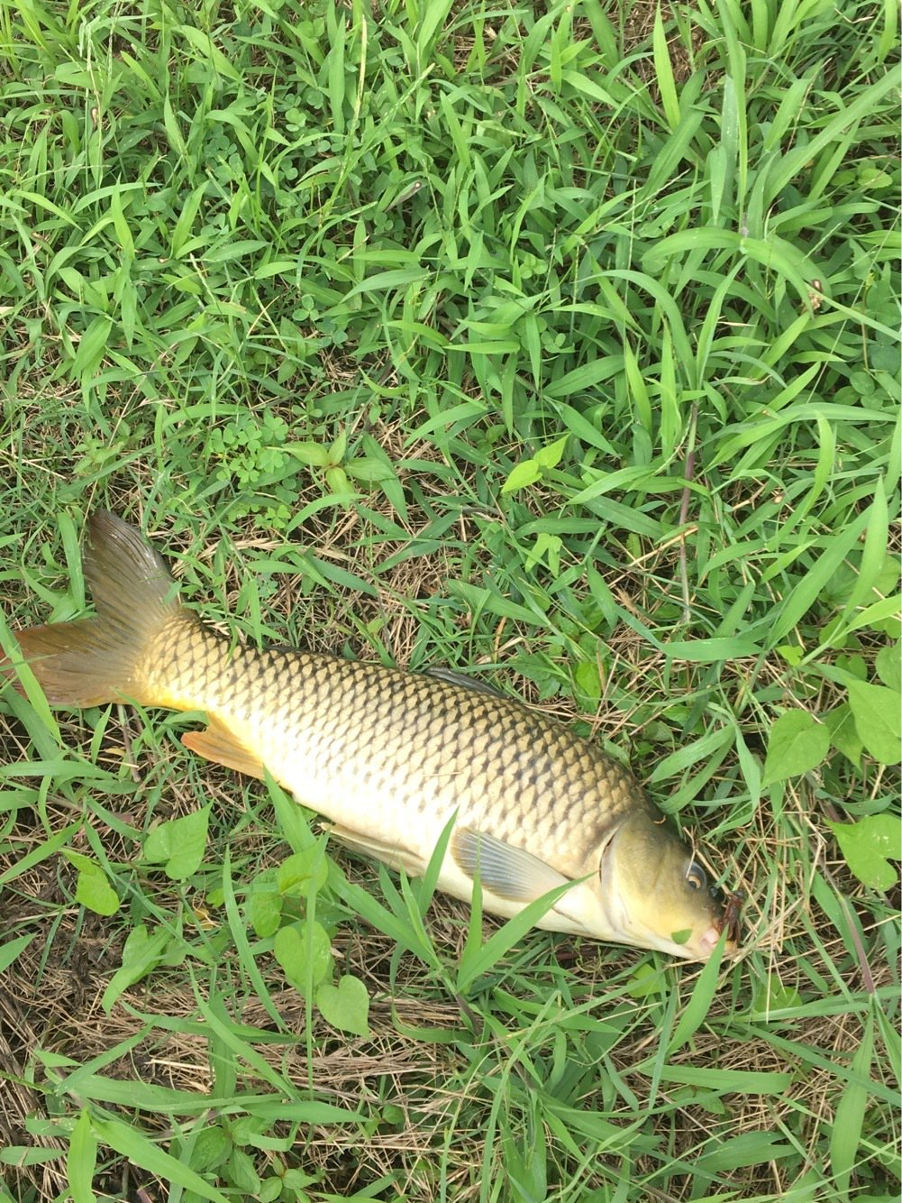 温基さんの投稿画像,写っている魚はコイ
