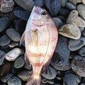うちごさんのチダイの釣果写真
