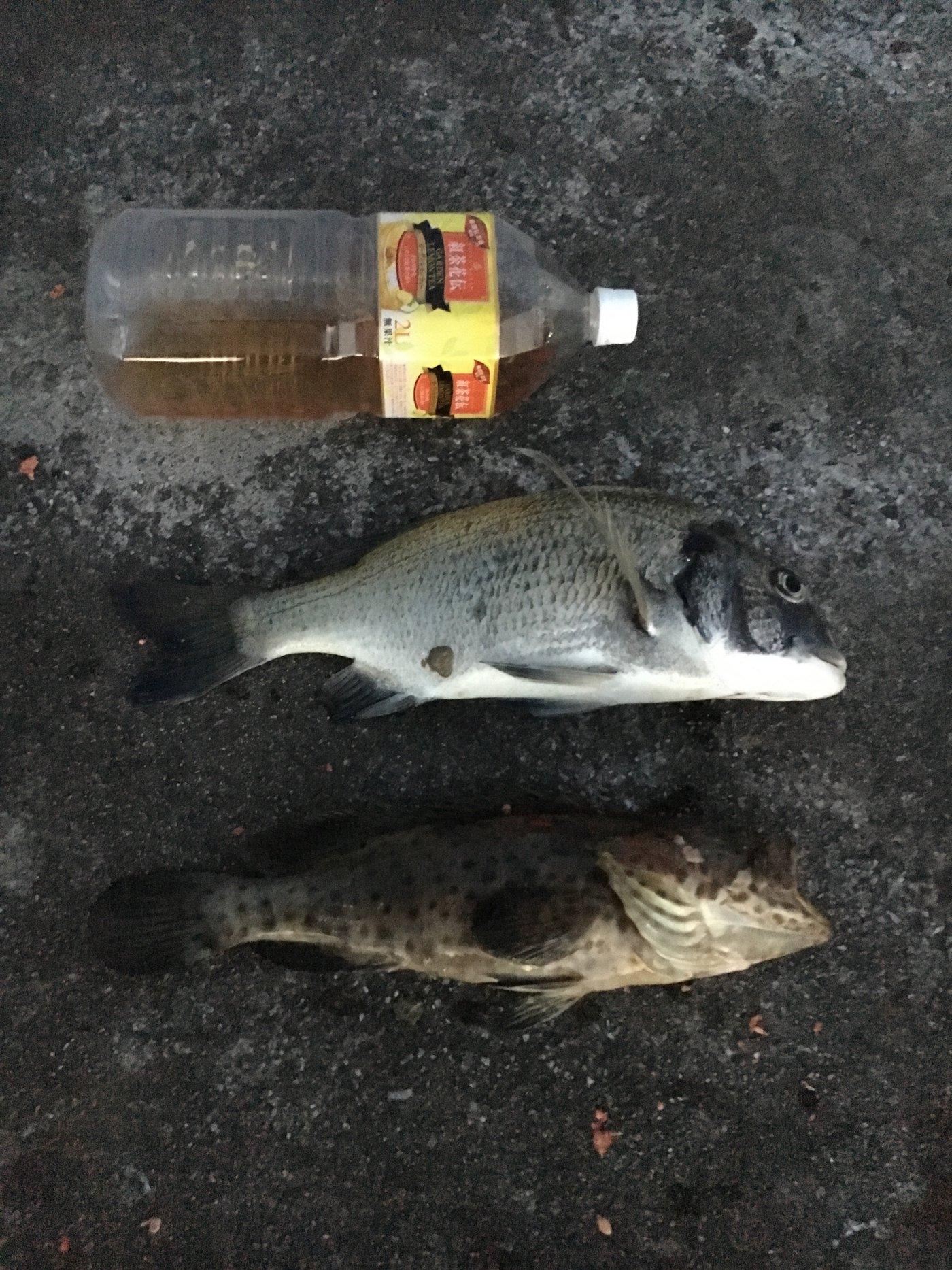 なおさんの投稿画像,写っている魚はクロダイ