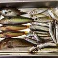 Yassさんの兵庫県明石市でのアイナメの釣果写真
