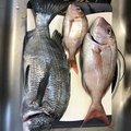 ma-kunbooさんの長崎県長崎市でのマダイの釣果写真