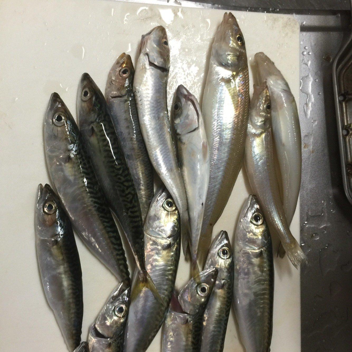 はたさんの投稿画像,写っている魚はマサバ