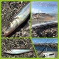 さよ*ˊᵕˋ)੭さんの千葉県富津市でのシロギスの釣果写真