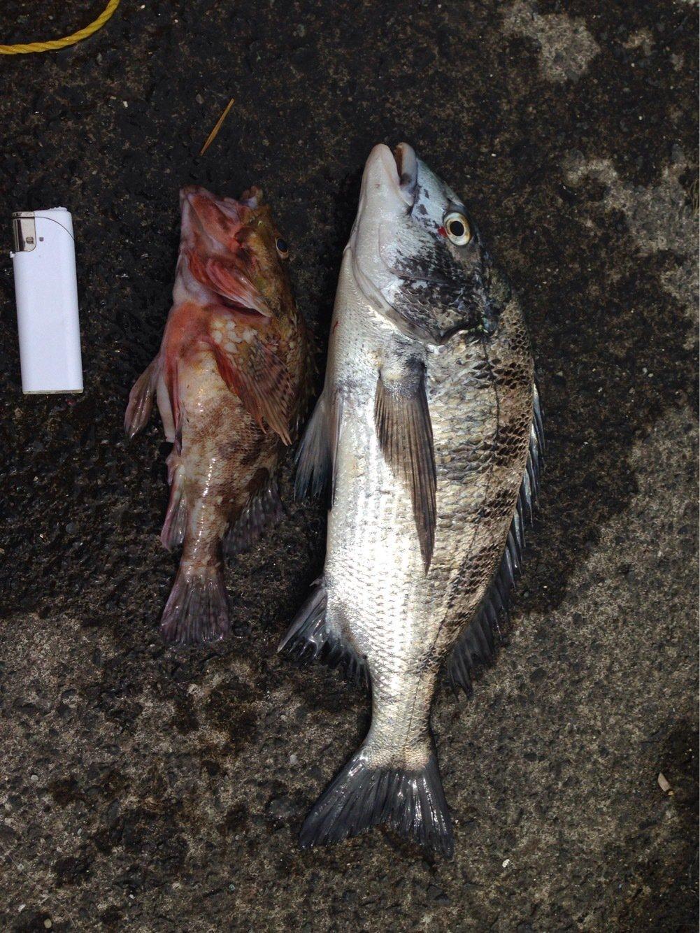 あっちさんの投稿画像,写っている魚はクロダイ