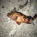 まささんの静岡県賀茂郡でのカサゴの釣果写真
