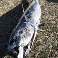 Sakamotp Keiさんの神奈川県でのマルソウダの釣果写真