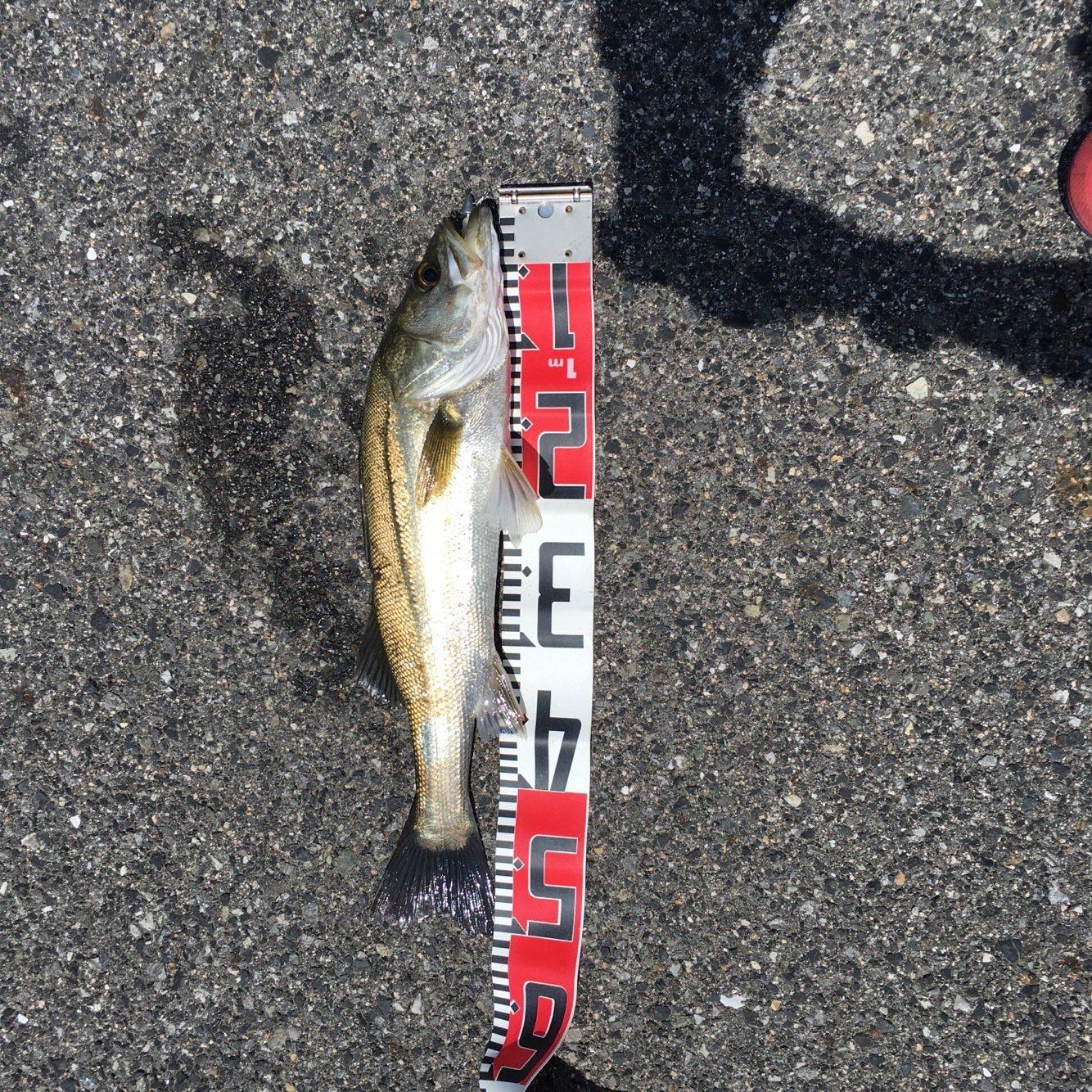 tomo0116さんの投稿画像,写っている魚はスズキ