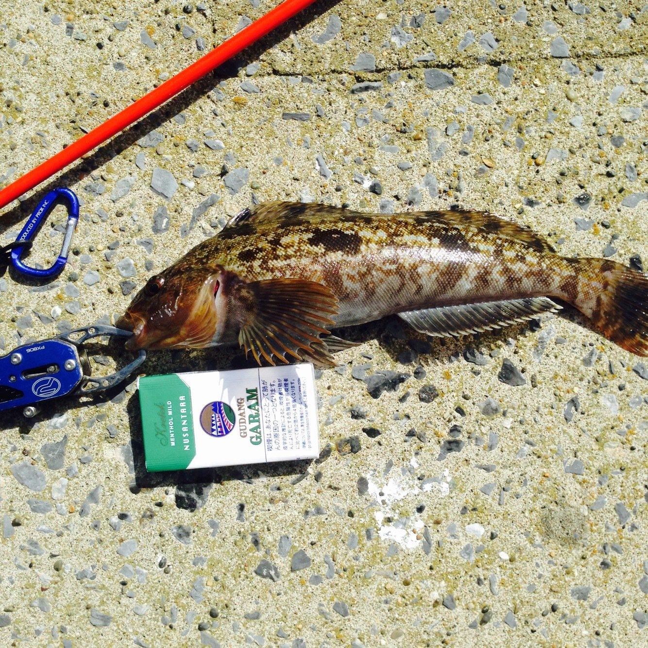 Tommyさんの投稿画像,写っている魚はアイナメ