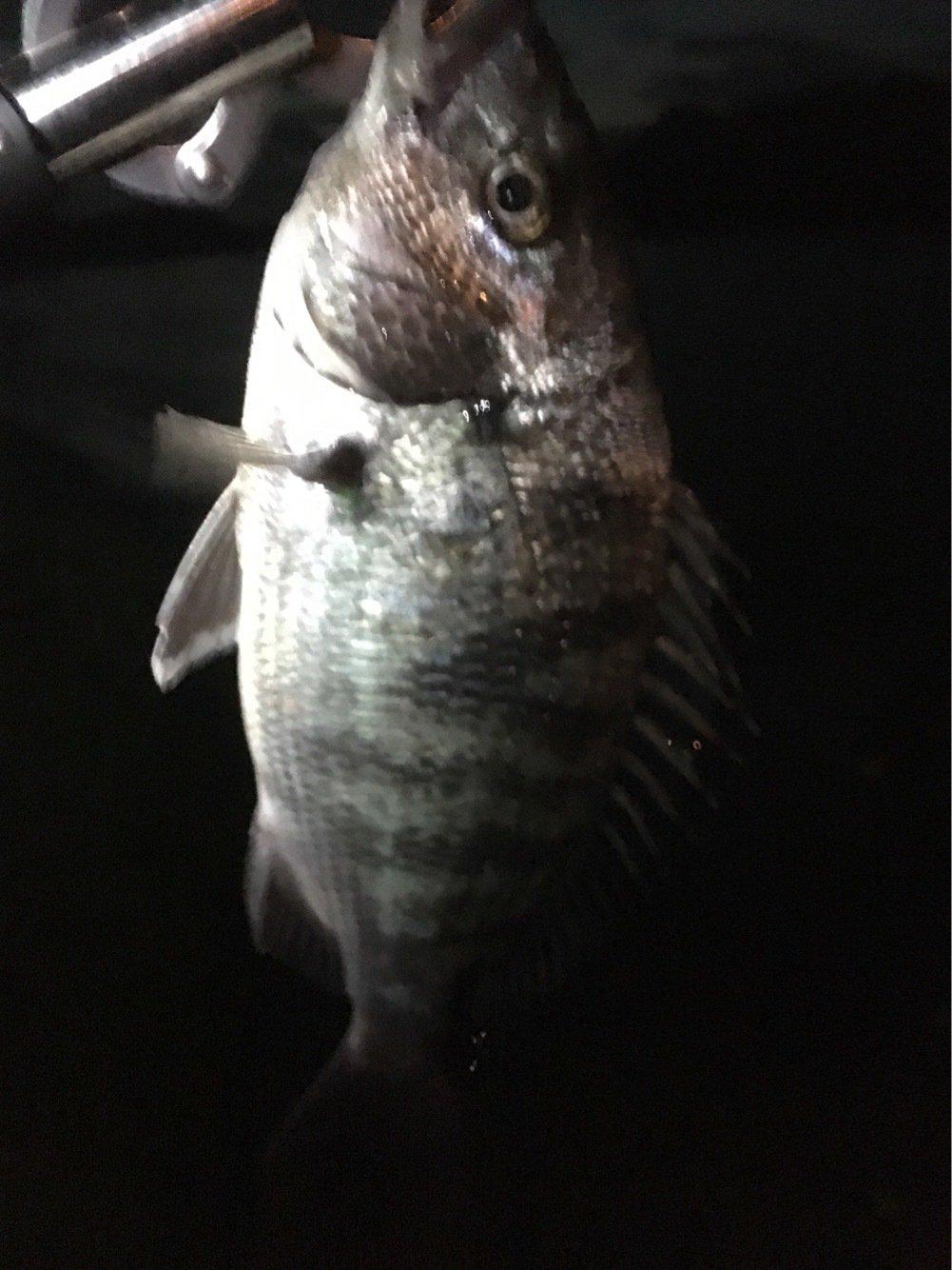 気まぐれ釣り人さんの投稿画像,写っている魚はクロダイ