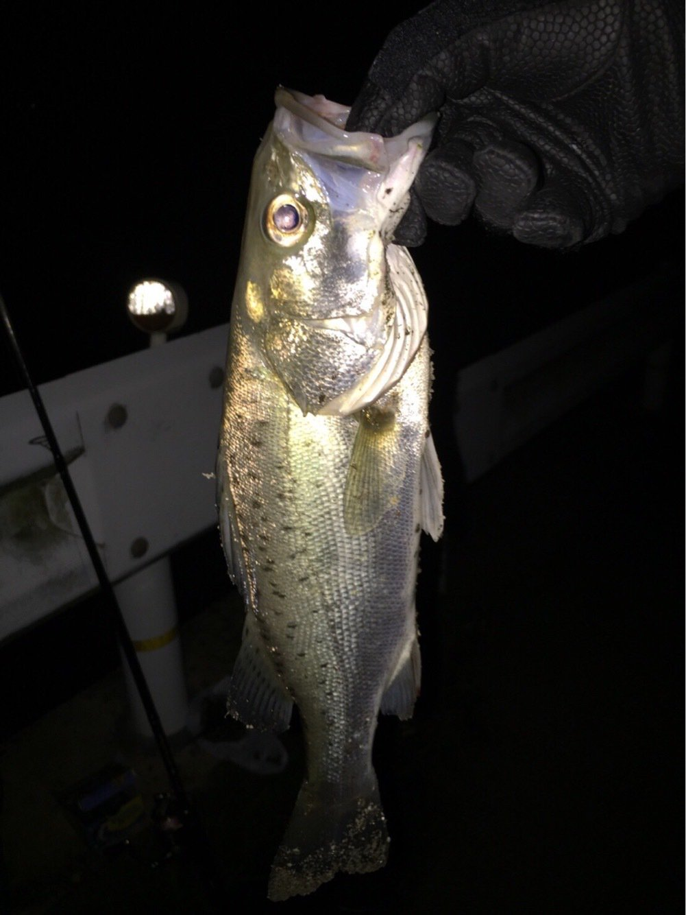 ウシジマくんさんの投稿画像,写っている魚はスズキ