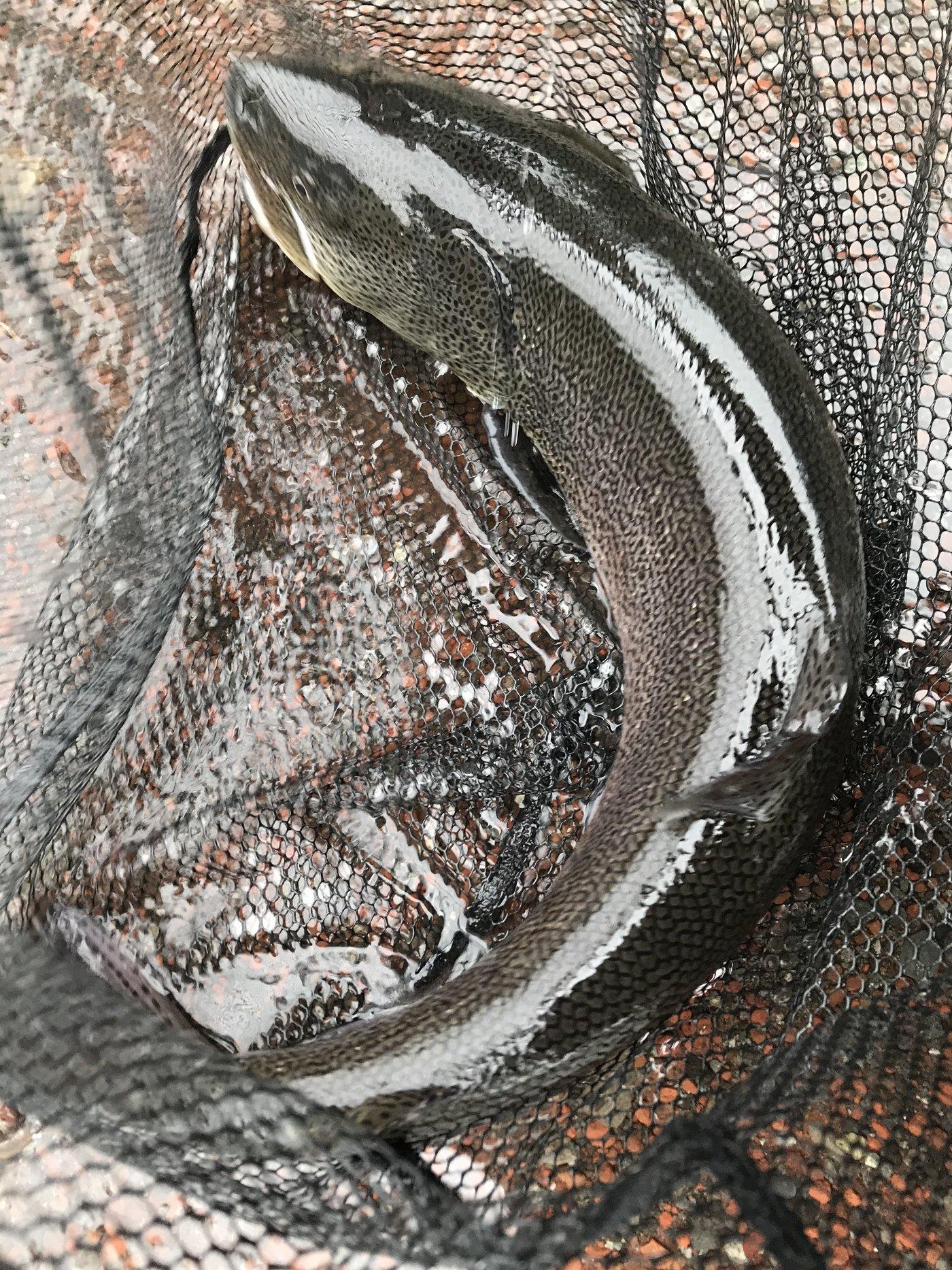 Minamisawaさんの投稿画像,写っている魚はイトウ