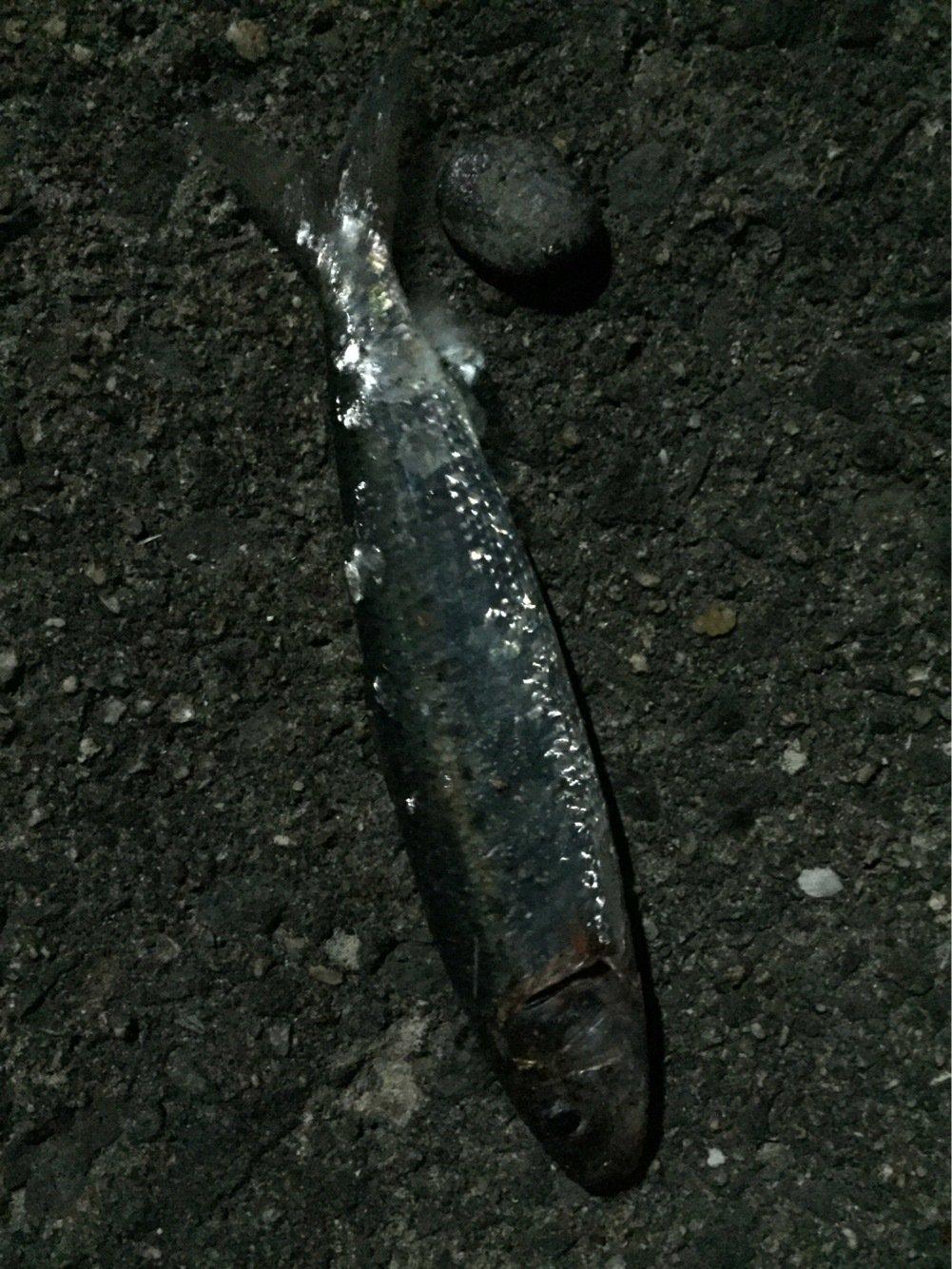 Rさんの投稿画像,写っている魚はマイワシ