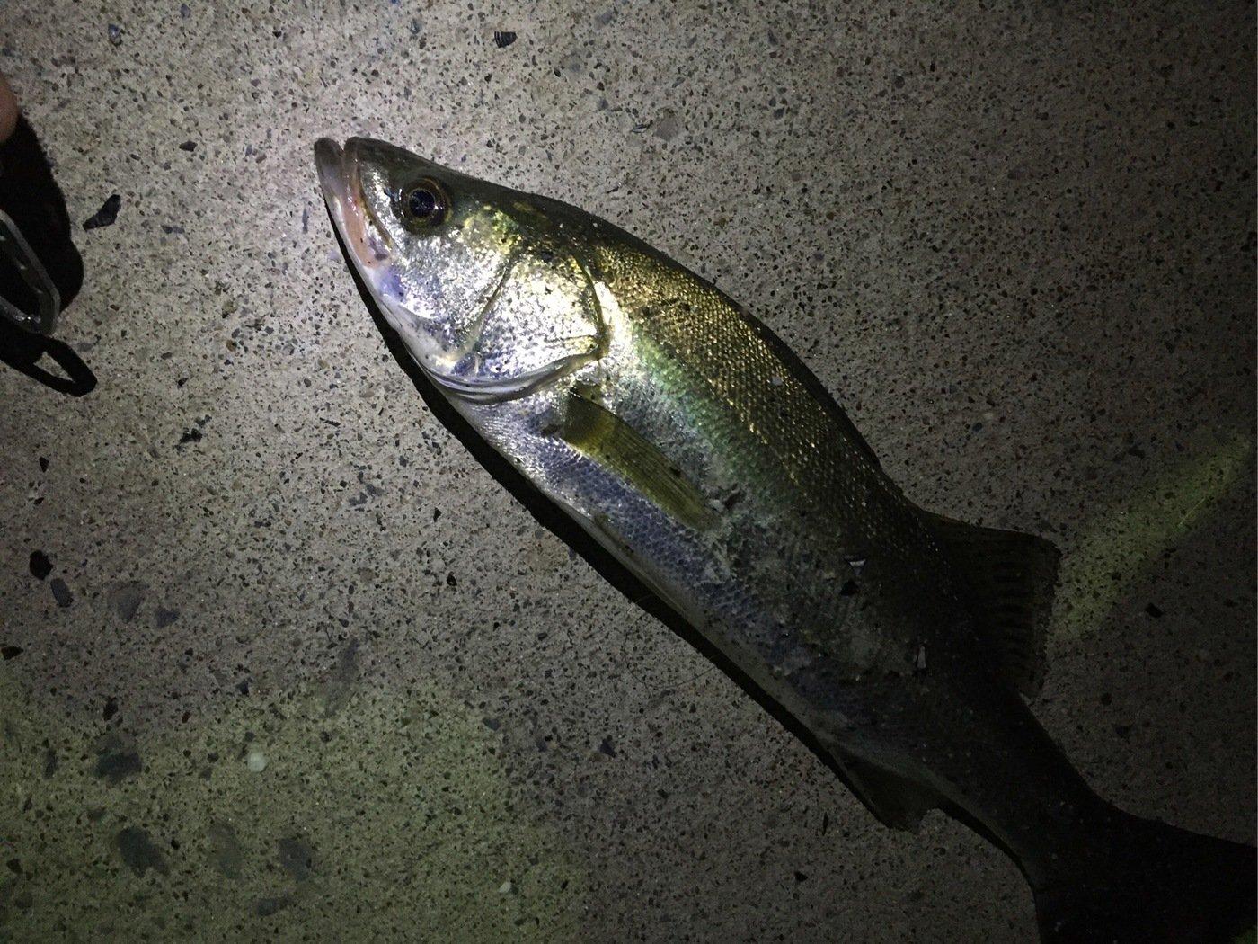 アッキーさんの投稿画像,写っている魚はスズキ
