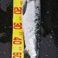 たくみさんの北海道白老郡での釣果写真