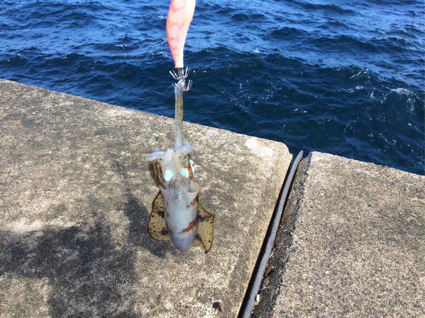 Dさんの投稿画像,写っている魚はアオリイカ