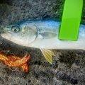 Masaru さんの兵庫県美方郡での釣果写真