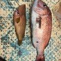 じまさんの佐賀県東松浦郡でのキジハタの釣果写真