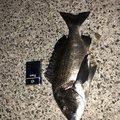 mjmyさんの福岡県糸島市でのクロダイの釣果写真