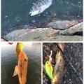 ひょーどるさんの福岡県福岡市でのクロダイの釣果写真