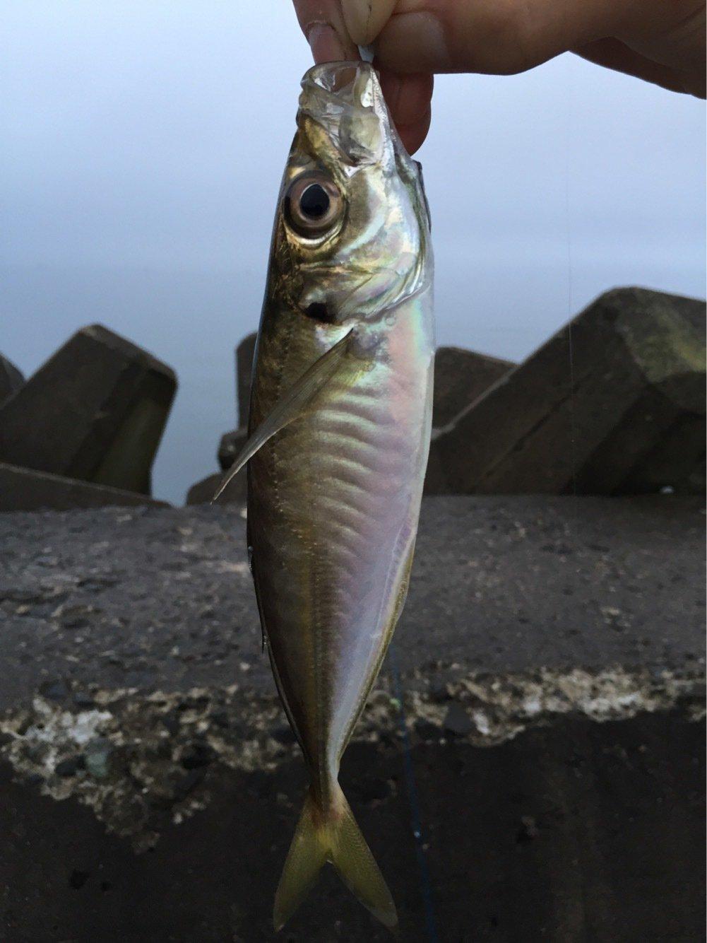 れんさんの投稿画像,写っている魚はアジ