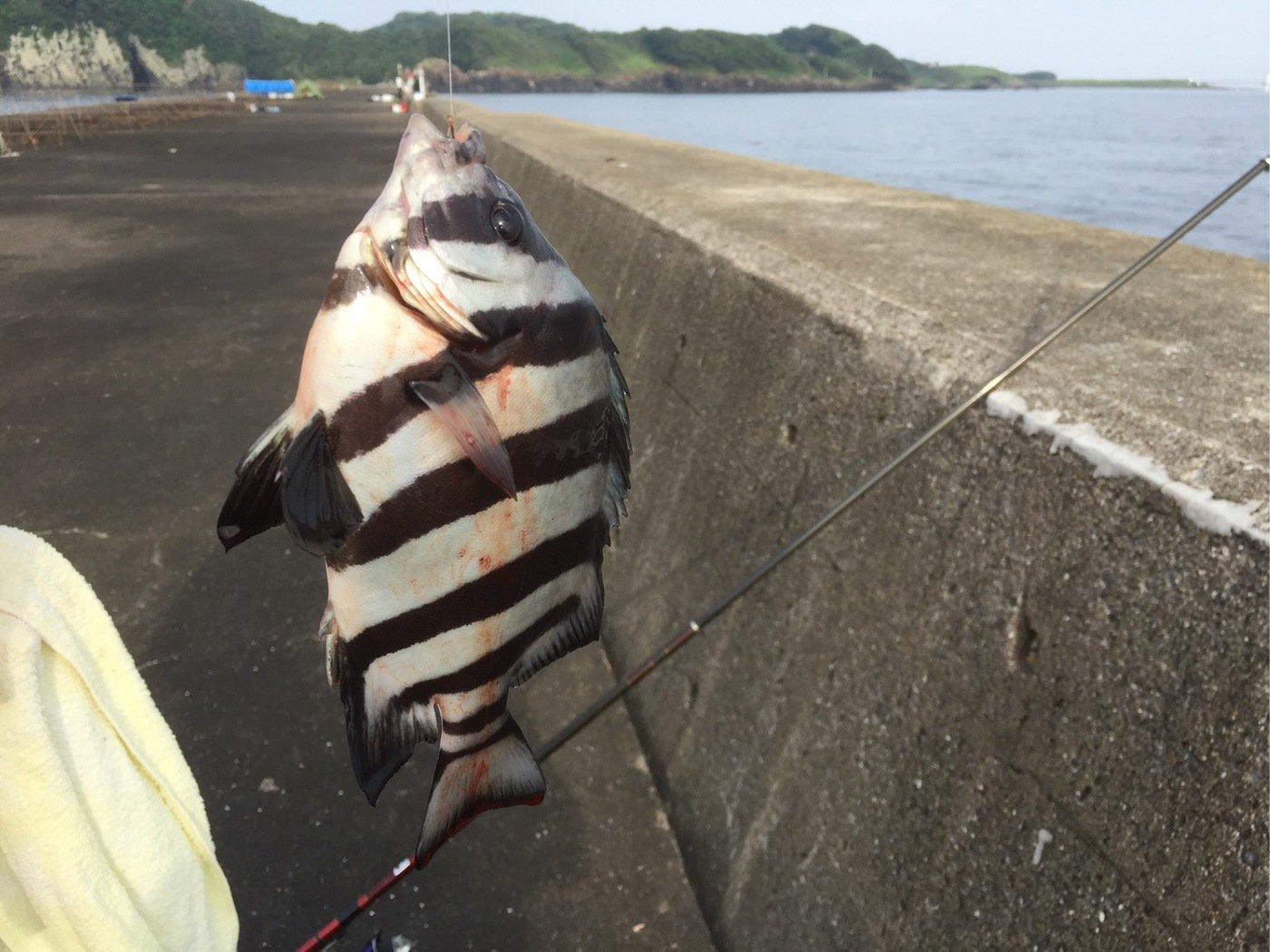 岳さんの投稿画像,写っている魚はイシダイ