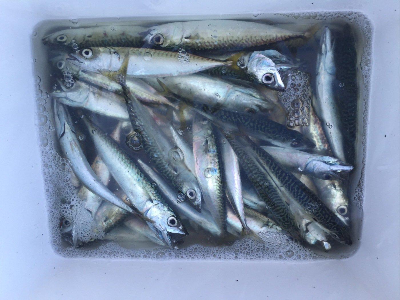 さぼ侍さんの投稿画像,写っている魚はマサバ