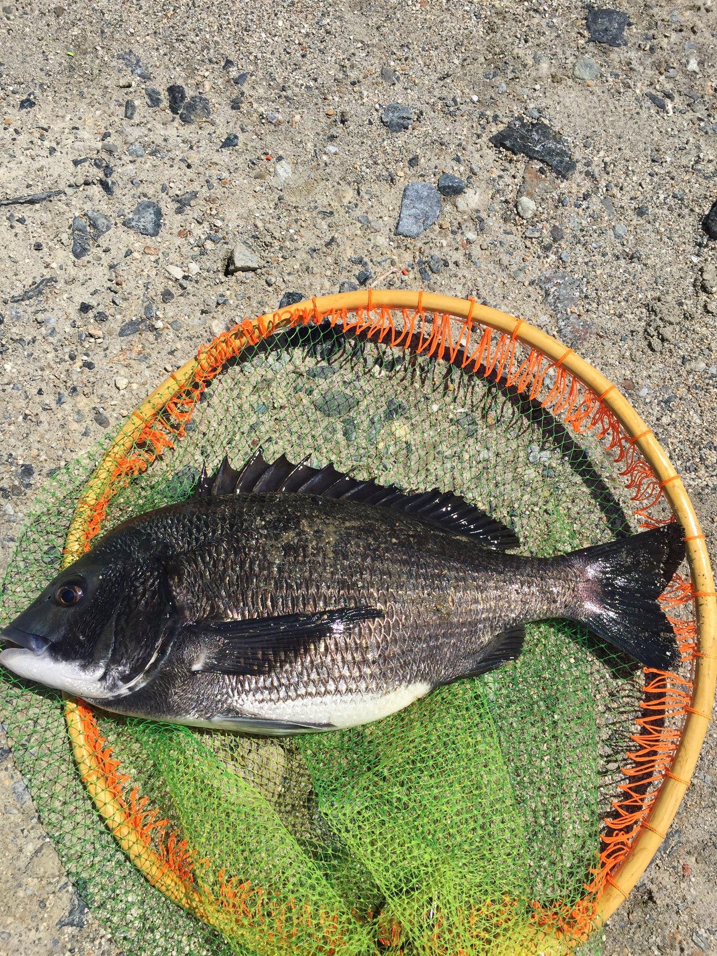 こまさんの投稿画像,写っている魚はクロダイ