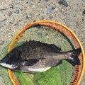 こまさんの愛知県東海市でのクロダイの釣果写真