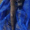 シーアツさんの千葉県君津市での釣果写真