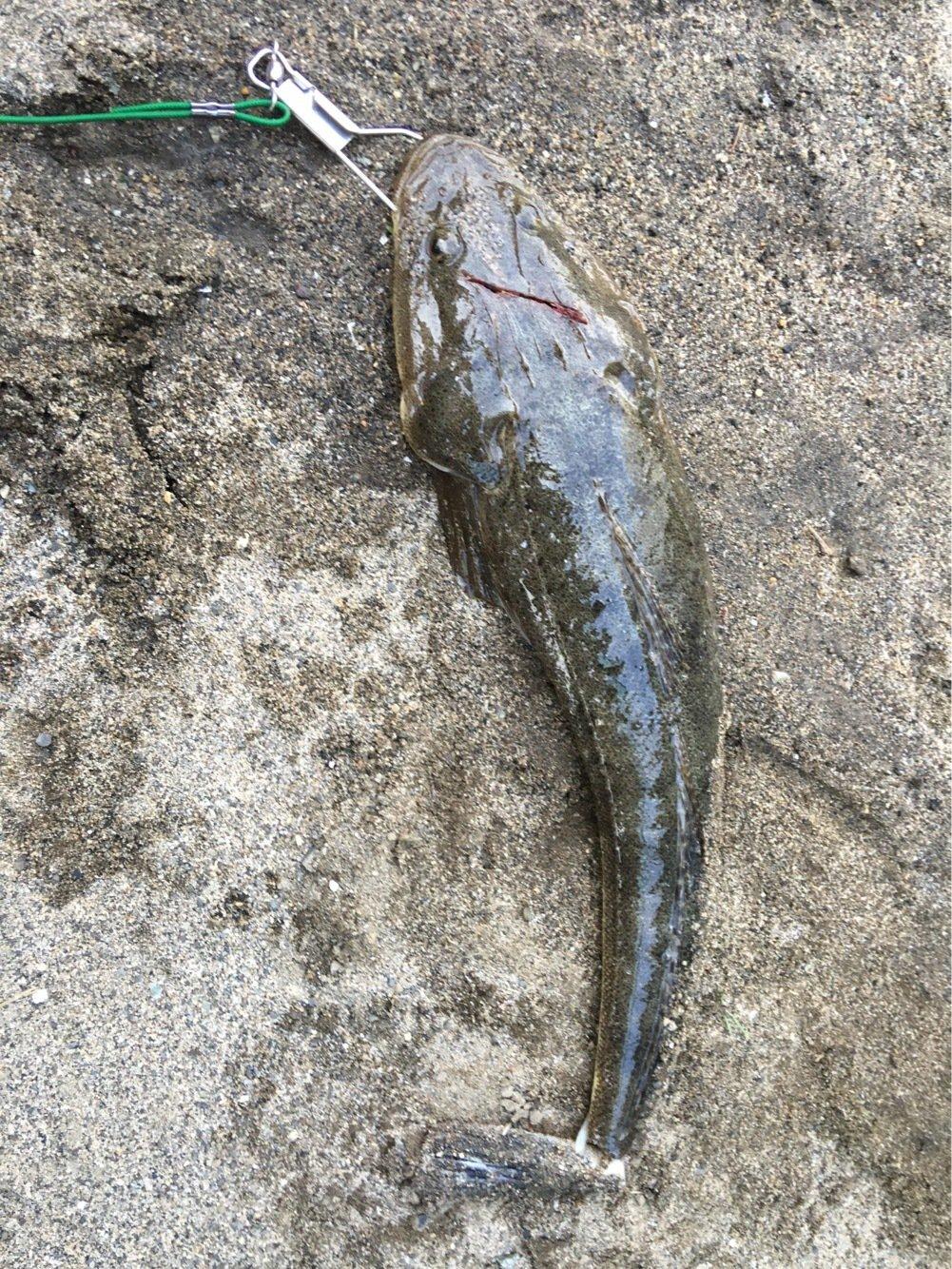 かっちゃんさんの投稿画像,写っている魚はコチ
