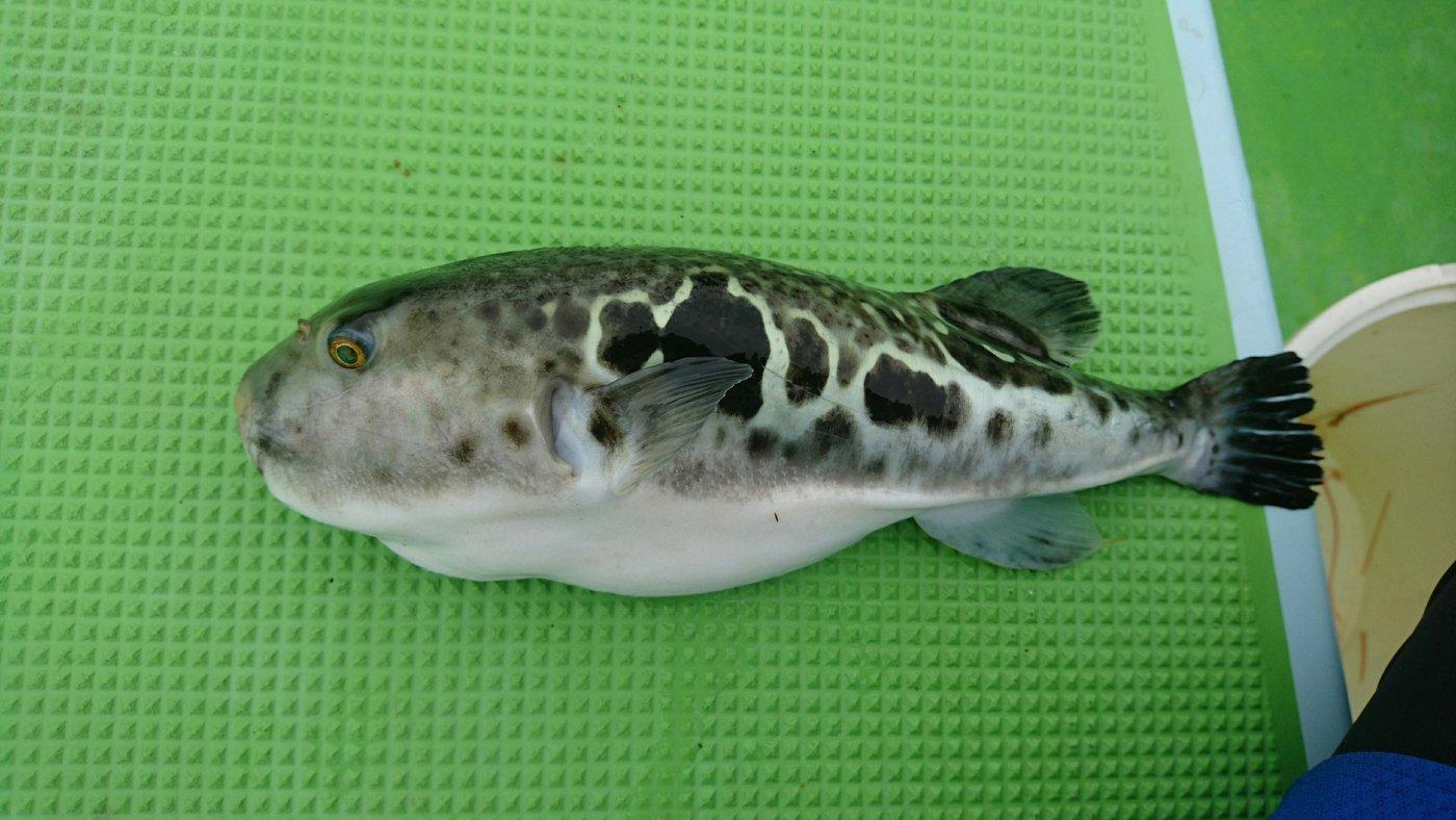 ちんたろうさんの投稿画像,写っている魚はトラフグ