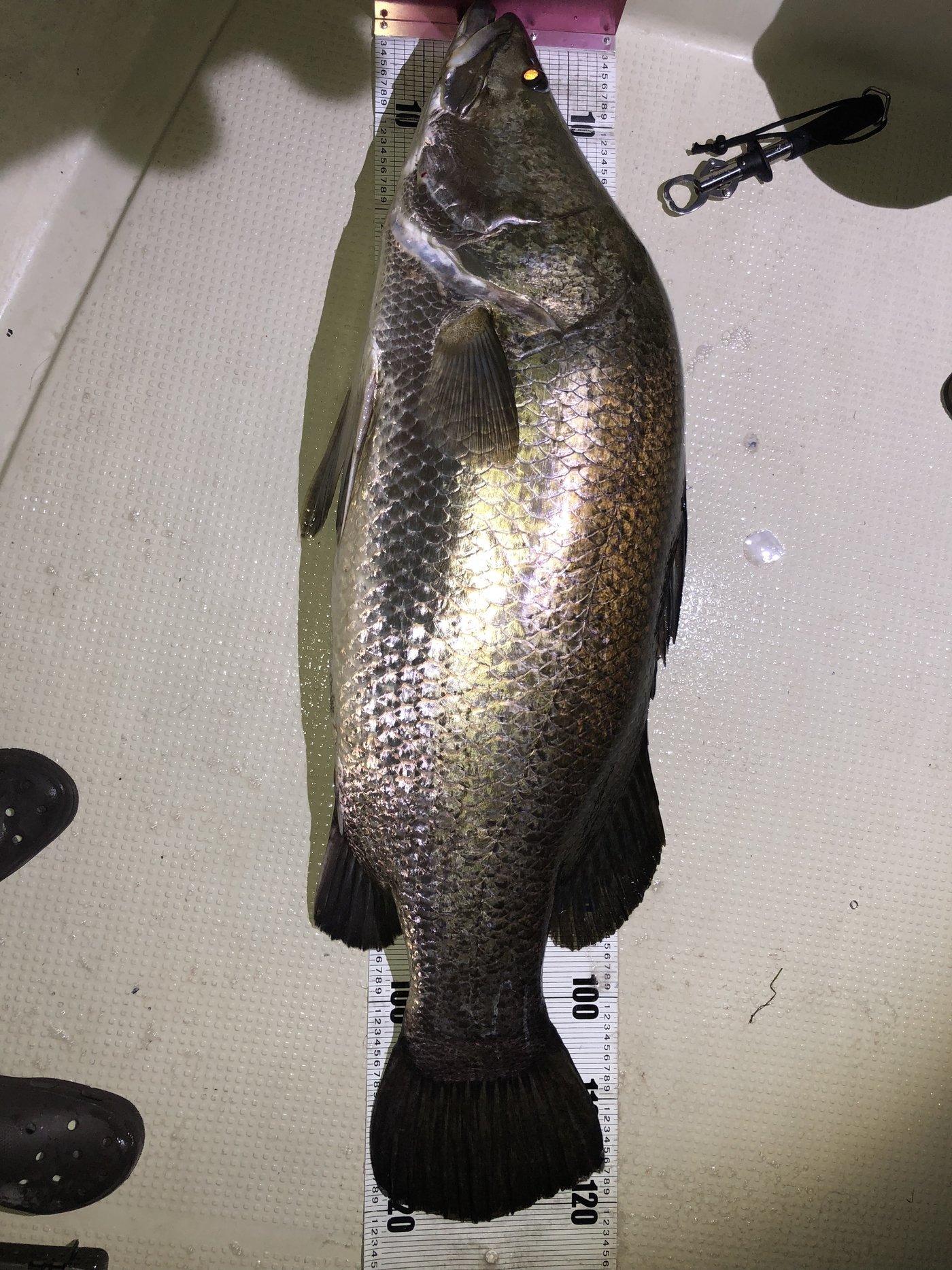 Takuma Yamasitaさんの投稿画像,写っている魚はアカメ