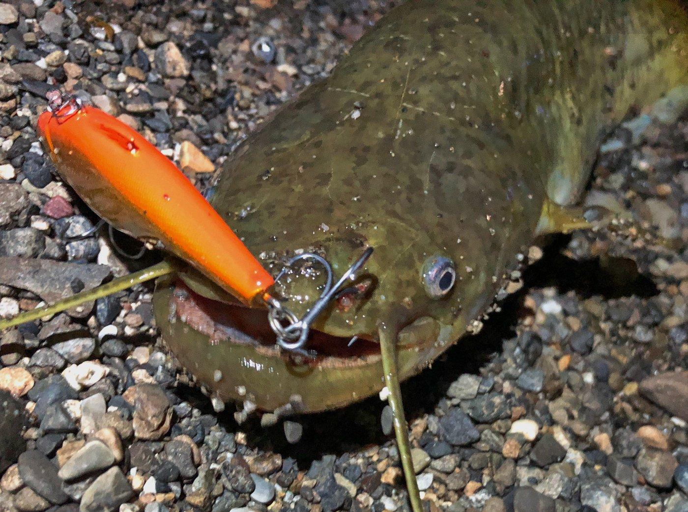 Zeroefficiencyさんの投稿画像,写っている魚はナマズ