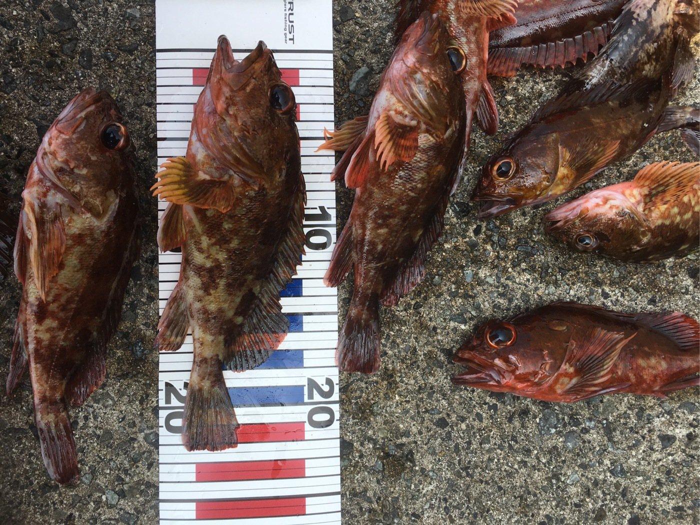 しんじさんの投稿画像,写っている魚はカサゴ