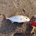 Kさんの静岡県掛川市での釣果写真