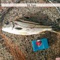 釣り坊さんのコトヒキの釣果写真