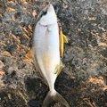 ガンナーズさんの石川県能美郡での釣果写真