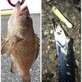 烏賊パンチ☆さんの静岡県静岡市でのオオモンハタの釣果写真