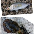 あっきーさんの鳥取県東伯郡での釣果写真