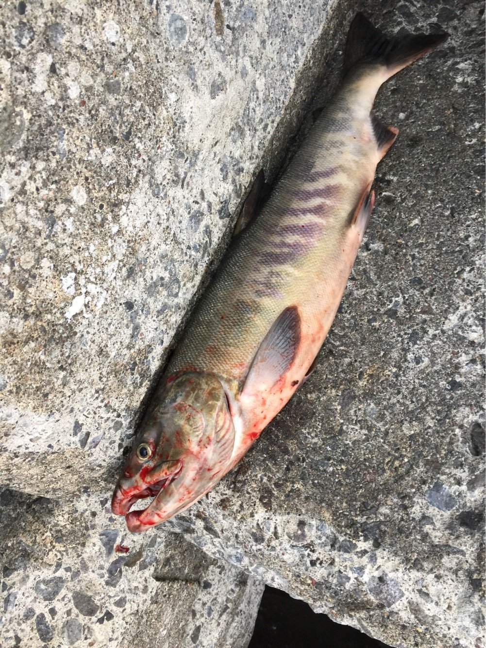Tommyさんの投稿画像,写っている魚はサケ